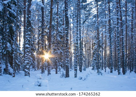 Winter forest in evening - stock photo