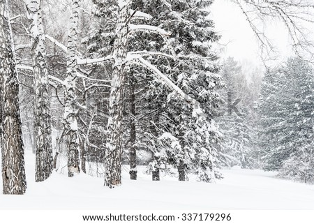 Winter Forest Landscape with Branches of Pine Tree covered in Snow in Russia, Siberia, Novosibirsk, Akademgorodok