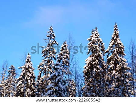 Winter forest. Snowy landscape with fir trees. Blue sky. - stock photo