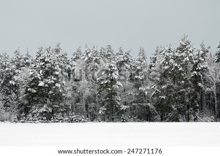 Winter forest. The forest strip covered with snow on a foggy day in winter. - stock photo