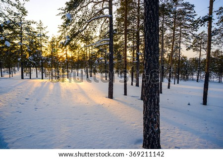 Winter forest , the sun's rays at sunset. - stock photo