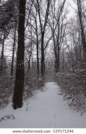 Winter forest. Transcarpathia