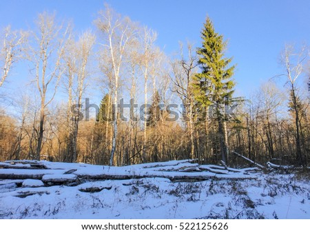 Winter forest under the late november sun. Nature of Russia