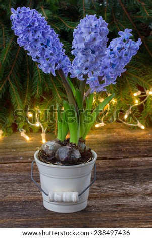 winter fresh blue hyacinth in pot with lights bokeh bakcground