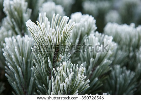 Winter frost on pine, christmas tree close-up - stock photo