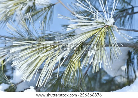 Winter frost on spruce tree close-up. Winter background . Shallow Depth of Field. - stock photo