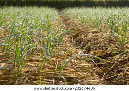winter garlic growing through hay in early spring neture - stock photo