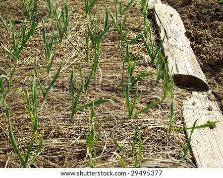 winter garlic sprouts growing through hay in early spring at the kitchen garden - stock photo