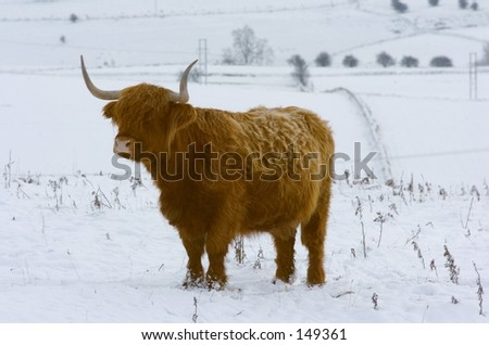 Winter Highand Cow - stock photo