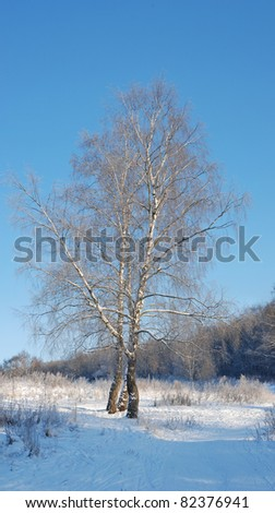 Winter in forest, birch and snow - stock photo