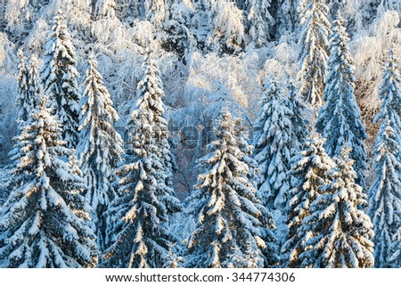 Winter in the forest with snow on the spruce trees - stock photo