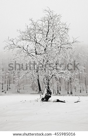 Winter in the snow forest. Solitary tree in winter, snowy landscape with snow and fog, foggy forest in the background. Cold winter with snow. - stock photo