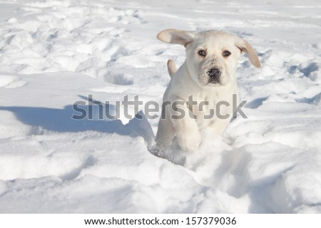 Winter Labrador retriever puppy dog running in snow - stock photo