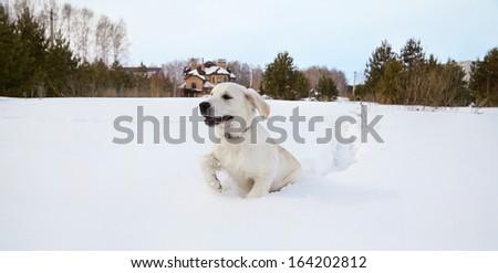 Winter Labrador retriever puppy dog running in snow - stock photo