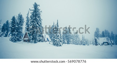 Winter landscape. Cedars and fir snow in cloudy weather