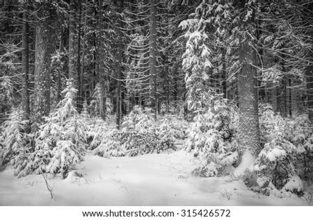 winter landscape: coniferous forest - stock photo