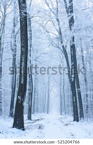 Winter Landscape, Footpath through Beech Tree Forest Covered by Snow