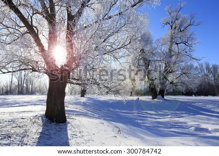 winter landscape frost oaks in sunny frosty morning - stock photo