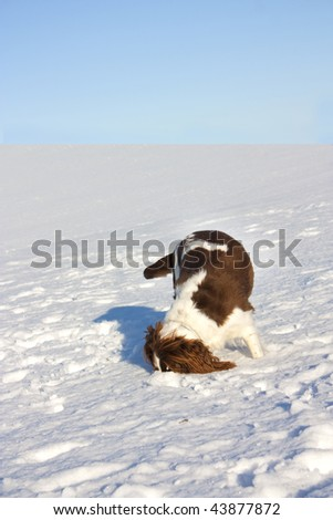 winter landscape including dog with head in snow - stock photo