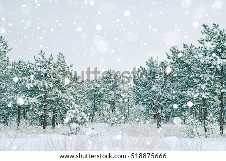 Winter landscape. Pine trees covered with snow.