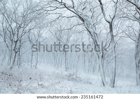Winter landscape. Snowfall in the forest. Russia