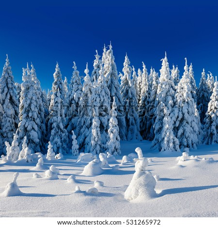 Winter Landscape, Spruce Tree Forest Covered by Snow, bright sunshine, blue sky