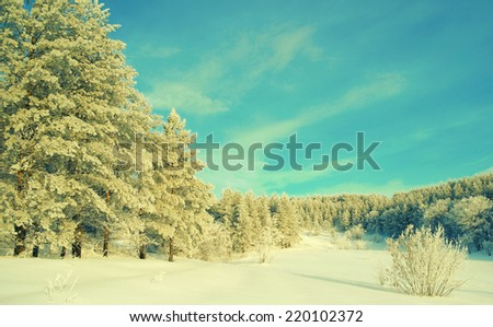 Winter landscape with pines hoarfrost covered - stock photo