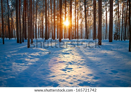 winter landscape with the pine forest and sunset - stock photo