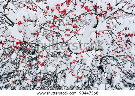Winter mountain ash.  Branches ash-berry under the snow - stock photo