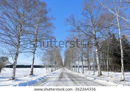 Winter of Hokkaido Japan Birch tree lined? - stock photo