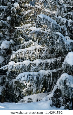Winter pine trees and new snow - stock photo