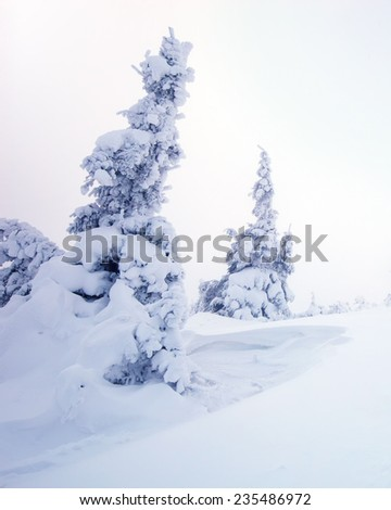 winter pine trees covered with fluffy snow - stock photo