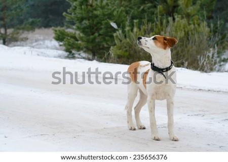 Winter portrait of Istrian Shorthaired Hound dog - stock photo
