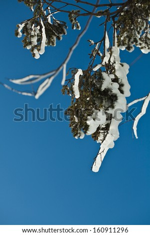 Winter rime and snow ice covered fir coniferous branch on blue sky background - stock photo