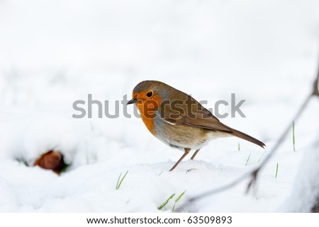 Winter Robin Profile View in Snow with Green Shoots - stock photo
