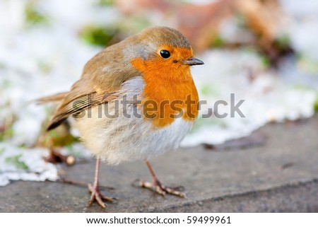 Winter Robin with Snowy Backround Close up