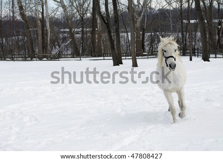winter scene of a beautiful white Arabian horse running towards camera, woods in the background, lots of copy space to left - stock photo