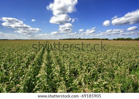 Winter southern sweet corn field - stock photo