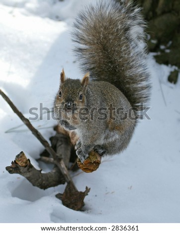 Winter squirrel looking up - stock photo