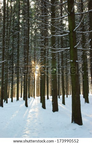 Winter sun in forest - stock photo