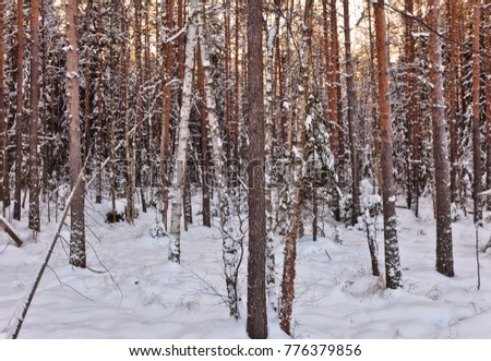 winter sunset in the forest. Nature background.