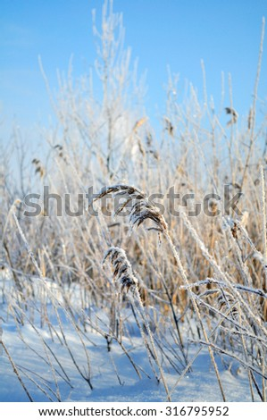 Winter sunset landscape - snowy field and frozen plants - focus at the central plant, shallow depth of field - stock photo