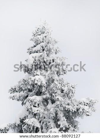 Winter tree boron / mountain Kopaonik Serbia / - stock photo