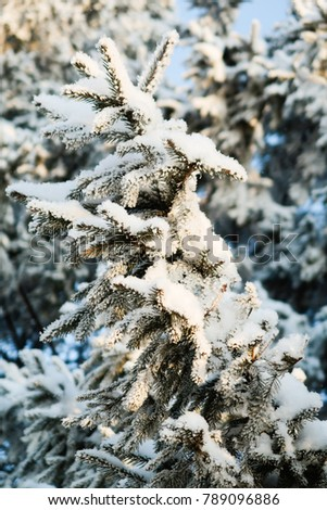 winter tree spruce in the snow