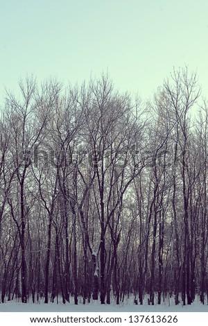 winter trees on snow.photo - stock photo