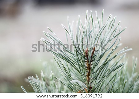 winter view of frosty branches of spruce