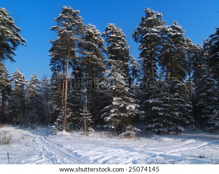 Winter view with pine forest