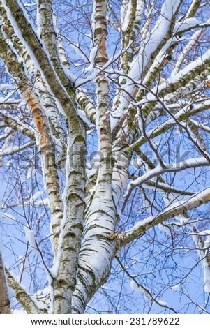 winter wonder land - white birch against blue sky - stock photo