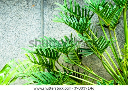 Winterborn Philodendron's leaves with gray background - stock photo