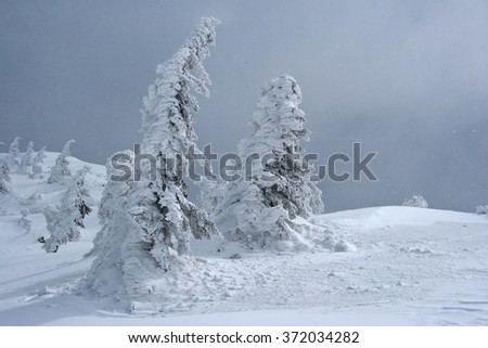 Wintertime pine forest covered by snow - stock photo